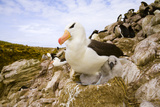Black-Browed Albatross with Chick on Nest Photographic Print by Momatiuk - Eastcott