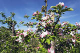 Blossoming Apple Trees in Orchard Photographic Print by Frank Krahmer