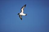 Cape Petrel in Flight Photographic Print by Martin Harvey