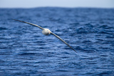 Wandering Albatross Flying above Sea Photographic Print by Momatiuk - Eastcott