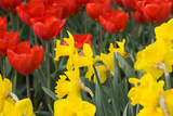 Gold Medal Narcissus and Red Paradise Tulips Fotoprint av Mark Bolton