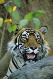 Bengal Tiger Photographic Print by Theo Allofs