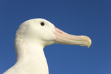 Wandering Albatross Photographic Print by Momatiuk - Eastcott