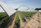 Strawberry Farm in England Photographic Print by Andrew Fox