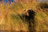 Female Brown (Grizzly) Bear in Tall Grass Photographic Print by Momatiuk - Eastcott