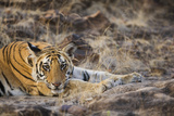 Bengal Tiger Cub Lying on Rocky Ground Photographic Print by Theo Allofs