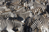 Herd of Zebras Photographic Print by Theo Allofs