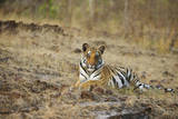 Bengal Tiger Cub Resting on Rocky Ground Photographic Print by Theo Allofs