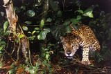 Jaguar in Rainforest Photographic Print by W. Perry Conway