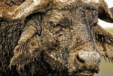 Dirty Buffalo Photographic Print by Martin Harvey