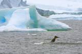 Killer Whale Diving near Penguin on Iceberg Photographic Print by Momatiuk - Eastcott