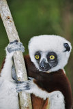Coquerel's Sifaka Papier Photo par Martin Harvey