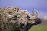 Dirty Buffalo Photographic Print by Martin Harvey