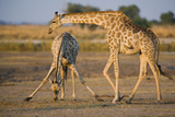 Giraffe Bending over Giraffe with Splayed Legs Photographic Print by Theo Allofs