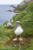 Grey-Headed Albatross with Chicks Photographic Print by Momatiuk - Eastcott