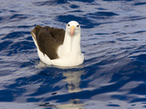 Black-Browed Albatross Floating on Sea Photographic Print by Momatiuk - Eastcott