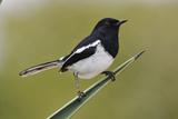Madagascar Magpie Robin Photographic Print by Martin Harvey