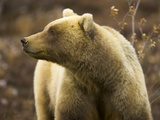 Grizzly Bear Female in Tundra Photographic Print by Momatiuk - Eastcott