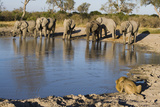 Elephants and Male Lion Drinking at Water Hole Photographic Print by Theo Allofs