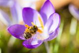 Pink Crocus Flower and Honeybee Photographic Print by Frank Lukasseck