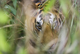 Bengal Tiger Cub Hiding in Tall Grass Photographic Print by Theo Allofs