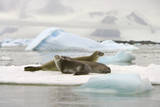 Crabeater Seals Resting on Ice Floe Photographic Print by Momatiuk - Eastcott