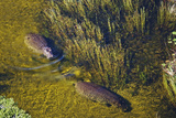 Aerial View of Hippopotamuses Photographic Print by Martin Harvey