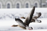Greylag Geese in Flight Photographic Print by Klaus Honal