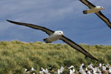 Albatross Flying over Colony Reproduction photographique par Martin Harvey