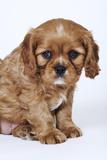 Cavalier King Charles Spaniel Puppy Photographic Print by Martin Harvey