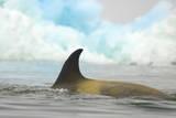Killer Whale Swimming near Iceberg Photographic Print by Momatiuk - Eastcott