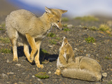 Two Paragonian Grey Fox Pups Playing Photographic Print by Momatiuk - Eastcott