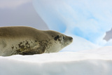 Crabeater Seal Resting on Ice Photographic Print by Momatiuk - Eastcott