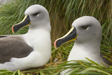 Pair of Mated Grey-Headed Albatross Adults Photographic Print by Momatiuk - Eastcott