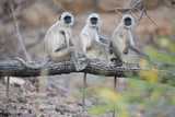 Gray Langurs Perched on Tree Limb Photographic Print by Theo Allofs