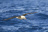 Black-Browed Albatross Flying above Sea Photographic Print by Momatiuk - Eastcott