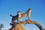 Cheetahs Photographic Print by Martin Harvey