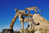 Geparder Fotografisk tryk af Martin Harvey