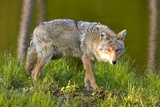 Coyote Photographic Print by W. Perry Conway