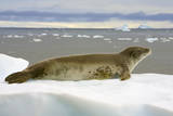 Leopard Seal Resting on Ice Photographic Print by Momatiuk - Eastcott