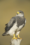 Black-Chested Buzzard Eagle Perching on Fence Post Photographic Print by Momatiuk - Eastcott