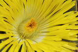 Yelow Fig-Marigold Photographic Print by Martin Harvey