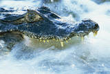Caiman Waiting in Running Water Photographic Print by Theo Allofs