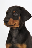 Doberman Pinscher Puppy Photographic Print by Martin Harvey