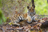 Bengal Tiger Cub Resting in Monsoon Forest Photographic Print by Theo Allofs