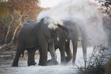 Elephants Spraying Themselves with Dust Photographic Print by Theo Allofs