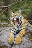 Bengal Tiger Cub Yawning Photographic Print by Theo Allofs
