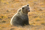 Female Grizzly Bear Sitting in Tundra Photographic Print by Momatiuk - Eastcott