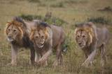 Three Male Lions on the Serengeti Plains Photographic Print by W. Perry Conway