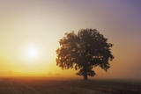 Silhouette of Oak Tree (Quercus) in Mist at Sunrise Photographic Print by Frank Krahmer
